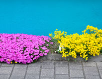 Bright pink and yellow small flowers. Bright pink and yellow small flowers on a background of turquoise wall and pavement Royalty Free Stock Photo