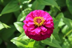 Bright pink Zinnia flower blossom, green leaves background. Filtered sunlight on bloom in gardens at Highland Park in Rochester, New York Royalty Free Stock Image