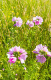 Bright pinkish purple flowering Common Mallow from close. Closeup of bright mauve-purple blooming Common Mallow or Malva sylvestris in their natural habitat Royalty Free Stock Images