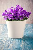 Bright planter with purple bluebells on blue board Stock Images