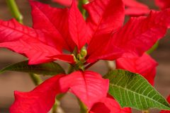 Bright poinsettia face close up royalty free stock photography