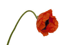 Bright poppy Royalty Free Stock Images