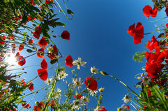 Bright poppy sky Stock Image