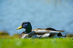 Bright portrait of a duck bird on a lawn. Beautiful portrait of a mallard duck bird on a lawn Royalty Free Stock Image