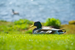 Bright portrait of a duck bird on a lawn. Beautiful portrait of a mallard duck bird on a lawn Royalty Free Stock Images