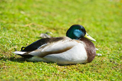 Bright portrait of a duck bird on a lawn. Beautiful portrait of a mallard duck bird on a lawn Stock Images