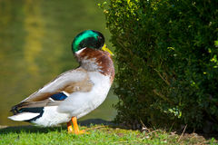 Bright portrait of a duck bird on a lawn. Beautiful portrait of a mallard duck bird on a lawn Royalty Free Stock Photo