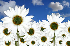 Bright Pretty Daisies Outdoors in a Field Stock Photo