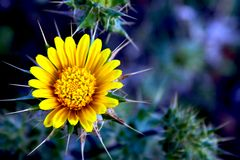 Bright prickly flower Royalty Free Stock Images