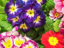 Bright primula vulgaris primroses early spring flowers Royalty Free Stock Photos