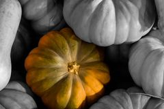 Bright pumpkin spot light alone against a background of gray pumpkins close-up. A selected object Royalty Free Stock Photo