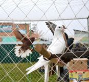 Breeding pigeons in cage at the pet market. Bright and purebred speckled pigeons in cage in bird market Royalty Free Stock Photography
