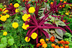 Bright purple Amaranthus cruenthus and multicolored marigolds Stock Images