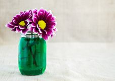 Bright purple argyranthemum flowers in a small mason jar. Filled with green colored water against a tan cloth background royalty free stock photography
