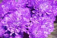 bright purple chrysanthemum bouquet Stock Photos