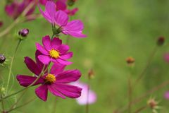 Bright purple. Cosmos are herbaceous perennial plants growing 0.3–2 m (1 ft 0 in–6 ft 7 in) tall. The leaves are simple, pinnate, or bipinnate, and stock image