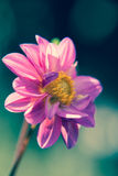 Bright purple dahlia flower close-up Stock Photos