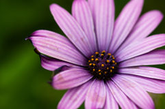 Bright Purple Daisy Flower. Purple Macro Daisy Flower is open and waiting for the rain. The pedals look burnt on the ends. Beautiful example of natures royalty free stock photo