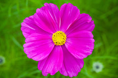 Bright purple daisy flower on green grass Royalty Free Stock Photography