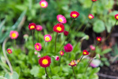Bright purple daisy flowers in springtime Stock Photo