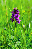 Bright purple flower on a green lawn Stock Photography