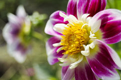 Bright purple flower over blurred background. Close-up of bright purple flower over blurred background Stock Images