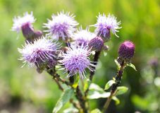 Bright purple flower thistle, thistle close-up. Grow on a meadow on a sunny day Royalty Free Stock Photo