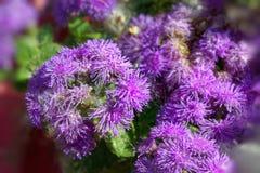 Bright purple flowers ageratum stock photos