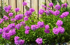 BRIGHT PURPLE FLOWERS ALONG A WOODEN FENCE Stock Images