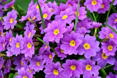 Bright purple flowers on a background of green grass and leaves Stock Photo