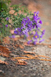 Bright purple flowers bent to the ground Royalty Free Stock Photography