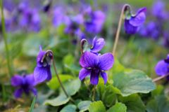 Bright purple flowers. Fresh fresh flowers, lilac and blue petals, pollen and nectar, aroma and taste, lush inflorescences, early spring flowers, bouquets stock photos