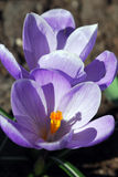 Bright purple flowers crocus Royalty Free Stock Images