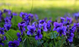 Bright purple flowers, fresh. Fresh flowers, lilac and blue petals, pollen and nectar, aroma and taste, lush inflorescences, early spring flowers, bouquets stock image