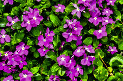 Bright purple flowers in full bloom. Vibrant purple flowers with green leaves Stock Image