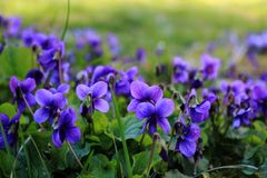 Bright purple flowers on the grass. Bright purple flowers, fresh fresh flowers, lilac and blue petals, pollen and nectar, aroma and taste, lush inflorescences stock photos