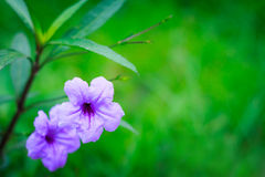 Bright purple flowers On a green background Royalty Free Stock Image