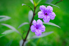 Bright purple flowers On a green background Stock Photography