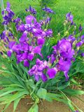 Bright purple flowers in hot, summer weather stock image