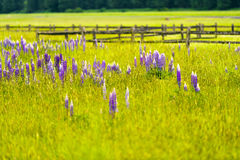 Bright purple flowers among lush summer grass in meadow Royalty Free Stock Image