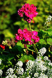 Bright purple flowers of Pelargonium zonale Stock Photo