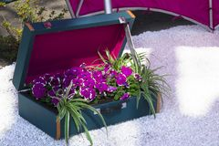Bright purple flowers of petunia with white edging in a blue suitcase. Bright purple flowers of petunia in a blue suitcase. In the garden a composition of Royalty Free Stock Images
