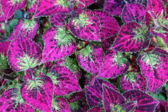 Bright purple and green leaves Royalty Free Stock Photography