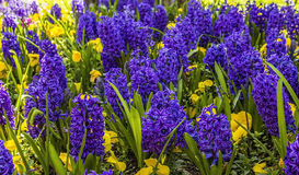 Bright purple hyacinths in April Royalty Free Stock Photo
