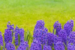 Bright purple hyacinths on a meadow stock image