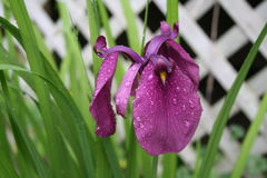 Bright Purple Iris. Flower after the Rain Stock Image