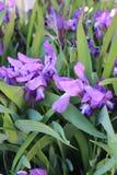 Bright purple irises stock photos