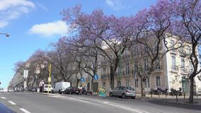 Bright purple Jacaranda trees in bloom. Typical scene of Jacaranda trees in Lisbon Portugal stock footage
