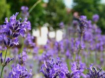 Bright purple lavender flower closeup in street garden with blurry background. Of building and tree. English lavender. scientific name Lavandula Angustifolia royalty free stock photos
