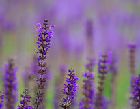 Bright purple lavender flowers in the field Stock Photos
